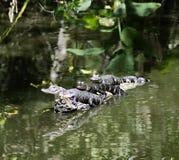 Krokodille trio Royalty-vrije Stock Fotografie