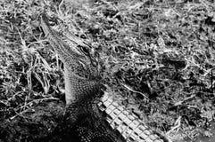 Krokodilleaanval! Stock Fotografie