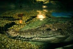 krokodilleende Royaltyfri Bild
