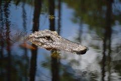 Krokodillehoofd in het moeras-Sluiten omhoog-1 Stock Afbeelding