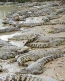 Krokodillen Royalty-vrije Stock Foto's