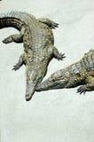 Krokodillen stock afbeelding