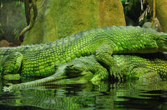 Krokodillen stock foto's