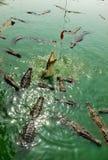 Krokodillen Royalty-vrije Stock Fotografie