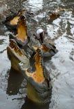 Krokodillen Stock Foto