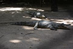 krokodillen Stock Fotografie