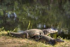 Krokodillen bij de rivier Royalty-vrije Stock Foto's