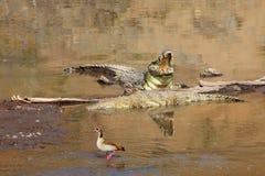 Krokodillen bij het masaimara nationale park royalty-vrije stock foto's