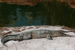 Krokodillen in crocopark royalty-vrije stock afbeelding