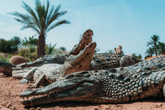 Krokodillen in crocopark stock afbeeldingen