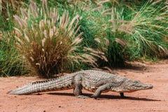 Krokodillen in crocopark stock afbeelding