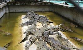 Krokodillen in de pool royalty-vrije stock afbeeldingen
