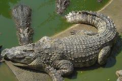 Krokodillen in de pool royalty-vrije stock fotografie