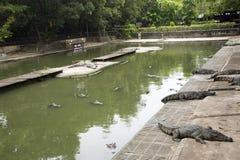Krokodillen die en en in pool bij het park in Nakhon Phatom, Thailand slapen rusten zwemmen royalty-vrije stock afbeeldingen