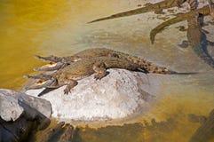 Krokodillen die neer met open monden koelen royalty-vrije stock afbeeldingen