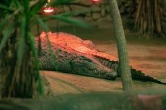 Krokodillen die onder ultraviolette lampen rusten stock foto