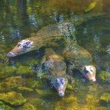 Krokodillen die van het water gluren royalty-vrije stock afbeelding