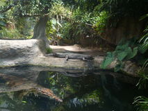 Krokodillen in dierentuin Dv?r Králové Stock Foto's