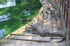 Krokodillen in een landbouwbedrijf, Thailand stock afbeelding
