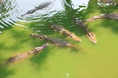 Krokodillen in een landbouwbedrijf, Thailand stock foto's