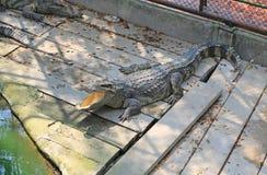 Krokodillen in een landbouwbedrijf, Thailand royalty-vrije stock foto's