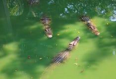 Krokodillen in een landbouwbedrijf, Thailand royalty-vrije stock afbeeldingen