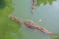Krokodillen in een landbouwbedrijf, Thailand stock afbeeldingen