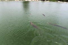 Krokodillen in het water royalty-vrije stock afbeeldingen