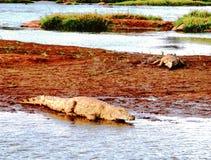 Krokodillen in het water Royalty-vrije Stock Fotografie