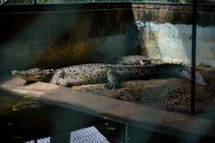 Krokodillen met pool stock fotografie