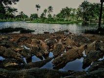 Krokodillen onbeweeglijk stock foto's