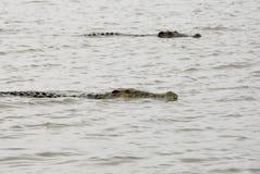 Krokodillen op Chamo-Meer (Ethiopië) stock foto's