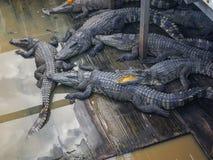 Krokodillen op een krokodillandbouwbedrijf stock foto