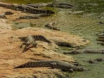 Krokodillen op een rivier Stock Foto's