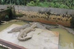 Krokodillen op Kooi stock foto's