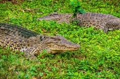 krokodillen op landbouwbedrijf op het groene gras royalty-vrije stock foto