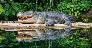 Krokodillen op vijver bij de dierentuin royalty-vrije stock foto