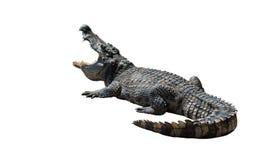 Krokodillen op witte achtergrond Stock Afbeeldingen