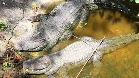 Krokodillenslaap in vijver (gezoem uit) Stock Afbeeldingen