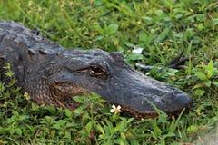 Krokodilmadeliefje en dreigende klauw Stock Afbeeldingen