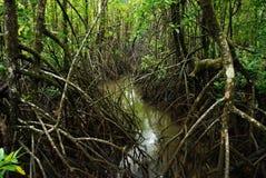 Krokodilmangrovar, Queensland, Australien Arkivbilder
