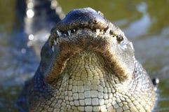 Krokodilmississippiensis, amerikanisches Krokodil lizenzfreie stockfotos