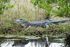 Krokodilmississippiensis, amerikanisches Krokodil Stockfoto