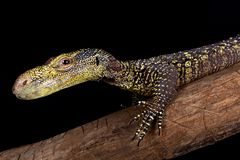 Krokodilmonitor Varanus salvadorii lizenzfreies stockfoto