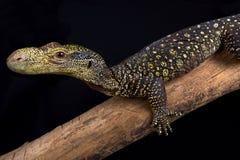 Krokodilmonitor Varanus salvadorii stockbilder