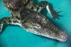 Krokodiln?rbild Alligator fotografering för bildbyråer