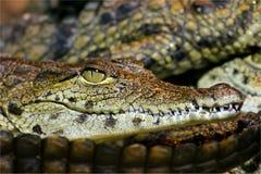 krokodilnile barn Royaltyfri Foto