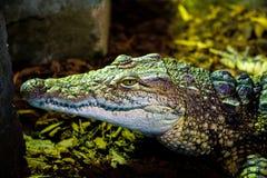 Krokodilporträt stockbilder