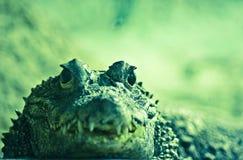 Krokodilportret in een terrarium Royalty-vrije Stock Fotografie