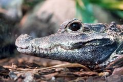 Krokodilprofilstående Sidosikt av dess käke Fotografering för Bildbyråer